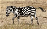 Black and white striped animal, zebra HD wallpapers #18