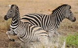 Black and white striped animal, zebra HD wallpapers
