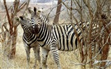 Black and white striped animal, zebra HD wallpapers #20