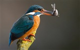 Fishing master, kingfisher HD wallpapers