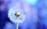 Beautiful plants close-up, dandelion HD wallpapers