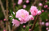 Pink peach flowers HD wallpaper #7