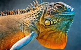 Colorful animal chameleon HD wallpapers