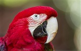 Macaw close-up fonds d'écran HD #9