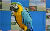 Macaw close-up fonds d'écran HD #13