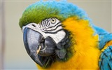Macaw close-up fonds d'écran HD #15