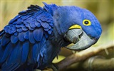 Macaw close-up fonds d'écran HD #18