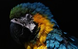 Macaw close-up fonds d'écran HD #25