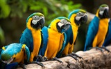 macaw close-up HD Tapety na plochu