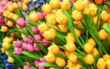 Fresh and colorful tulips flower HD wallpapers