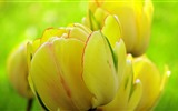 Fresh and colorful tulips flower HD wallpapers #6