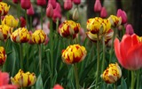 Fresh and colorful tulips flower HD wallpapers #7