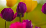 Fresh and colorful tulips flower HD wallpapers #9