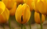 Fresh and colorful tulips flower HD wallpapers #10